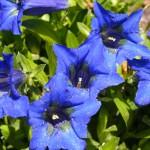 gentian fleurs bach