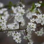 Cherry Plum - prunier