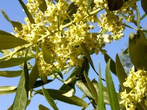 olivier fleurs bach