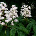 Fleur de marronnier blanc