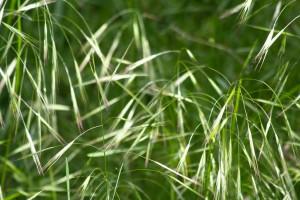 wild-oat